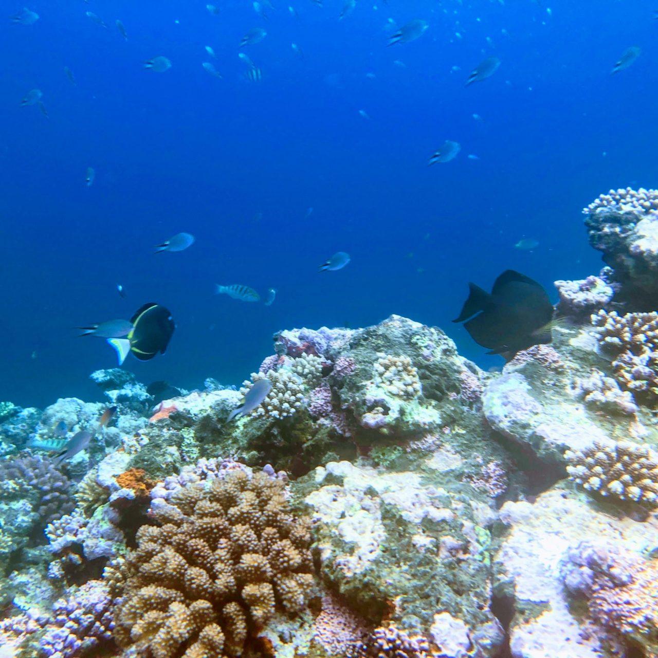 米原ビーチ〜トミービーチの珊瑚畑