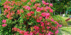 「海そばティーラ」の庭に咲くブーゲンビリア