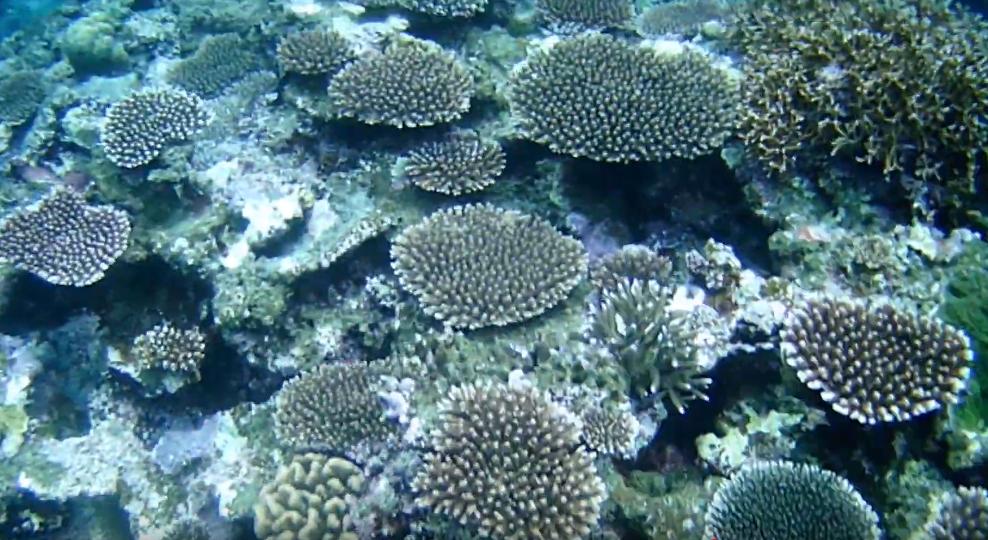 米原ビーチ川平側沖ドロップオフに生息する珊瑚群