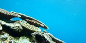 米原アウトリーフの珊瑚
